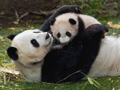 ВКитайской республике больше несчитают панд вымирающим видом