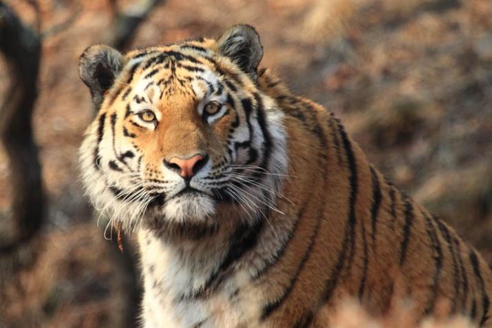 Милиция Владивостока ищет разгуливающего поулицам города тигра